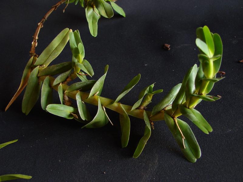 Angraecum conchoglossum DSC00720