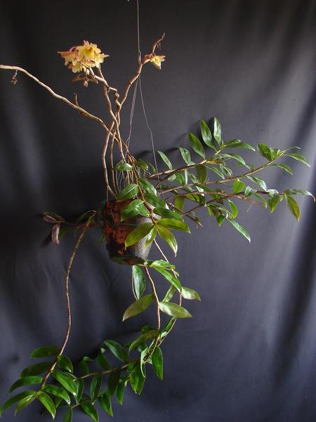 Dendrobium lampongense DSC00727