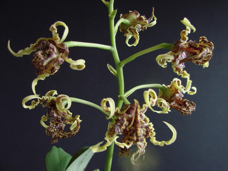 Dendrobium spectabile DSC00741