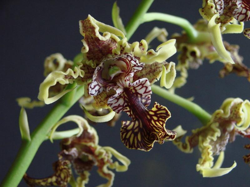 Dendrobium spectabile DSC00743