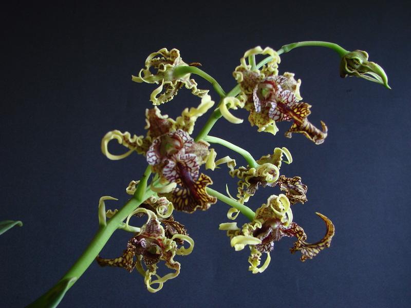 Dendrobium spectabile DSC00746