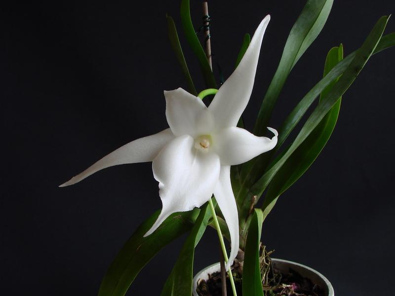 Angraecum Lemförde White Beauty? DSC00767