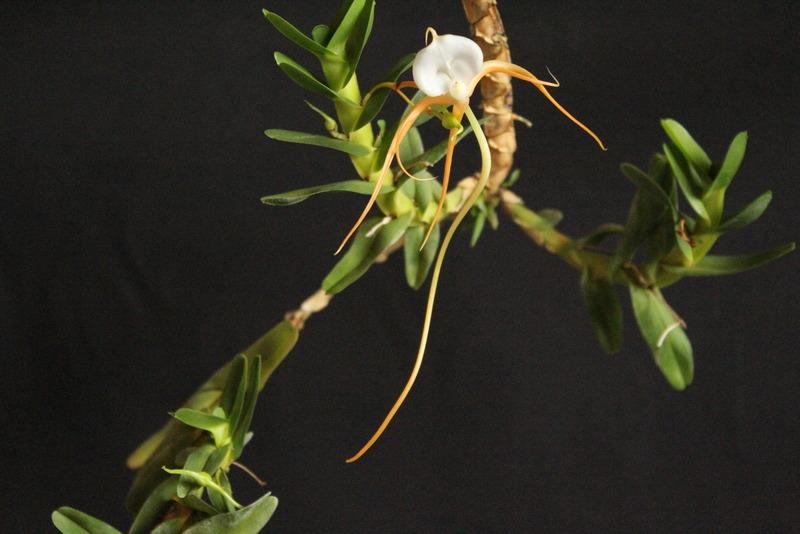 Angraecum conchoglossum IMG_0053